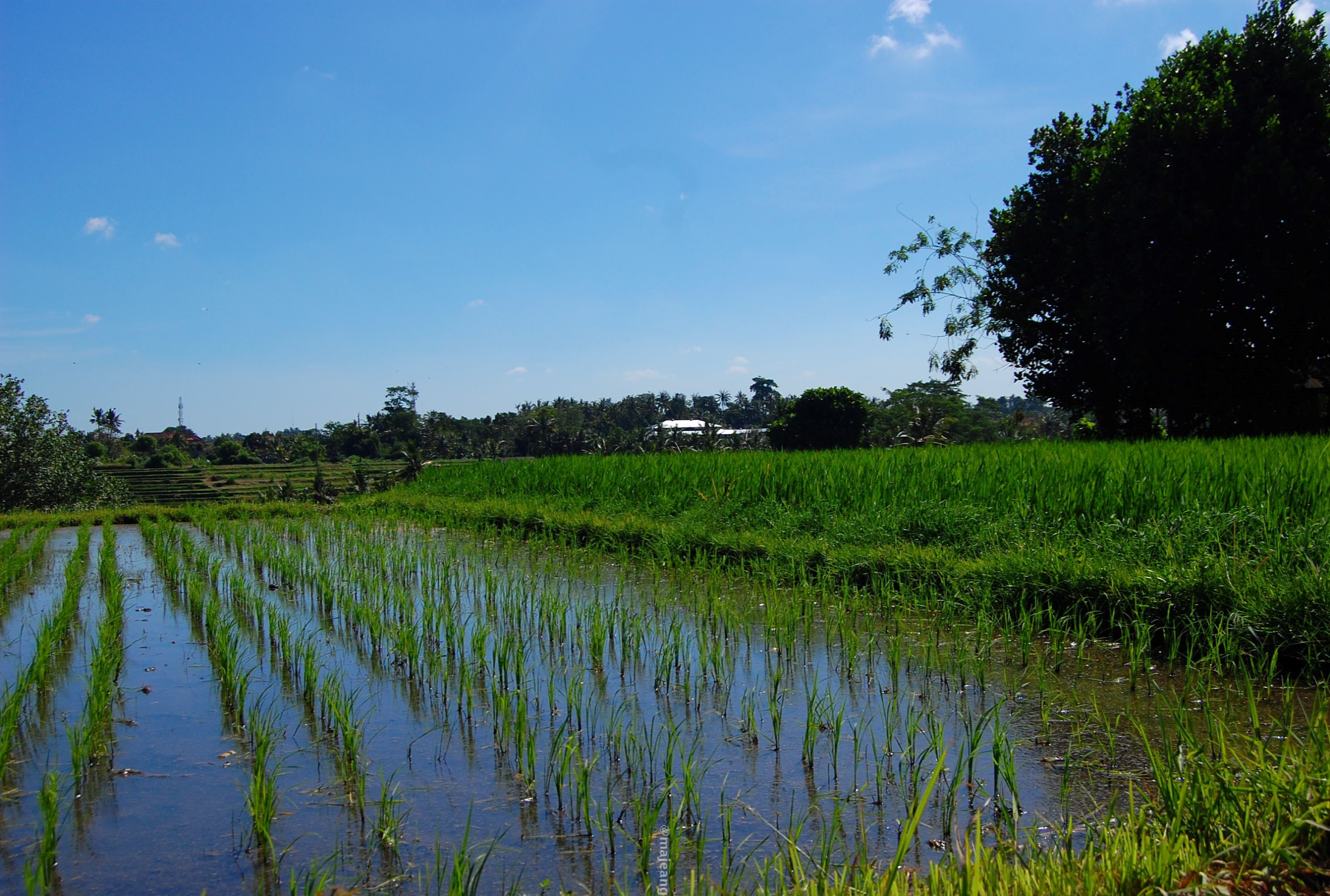 what's so special about Bali- rice farm