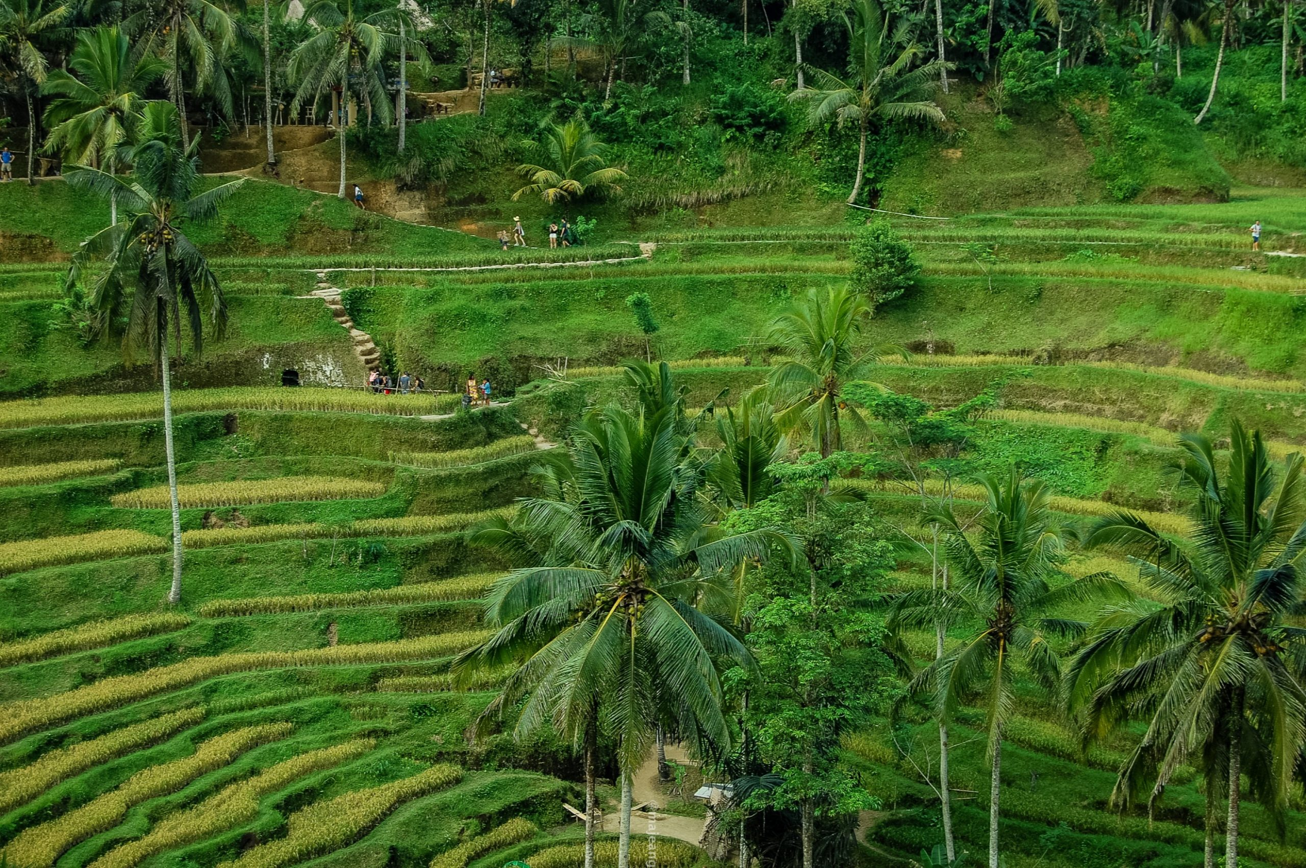 how to look after your mental wellbeing- rice terrace, Bali